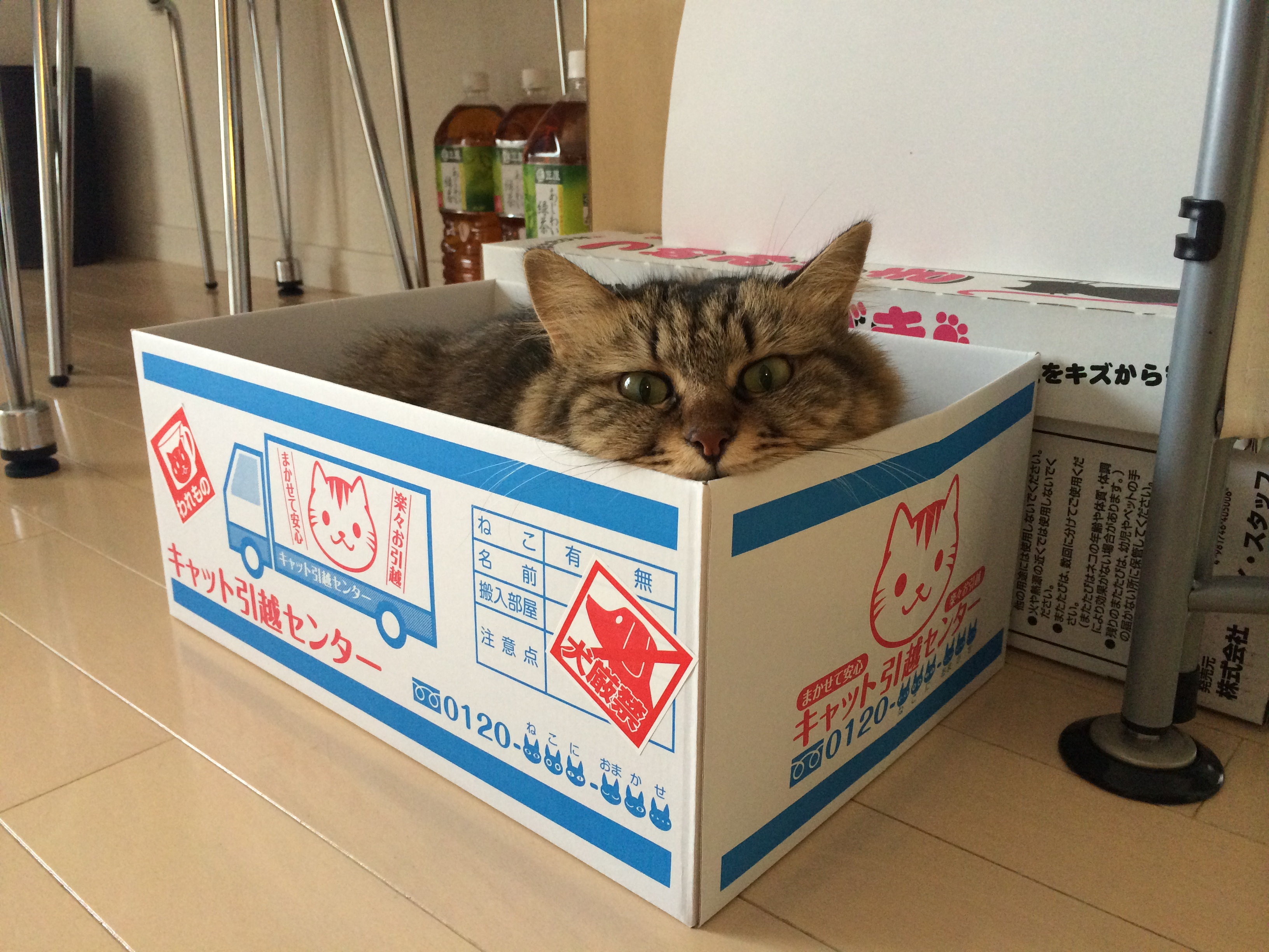 段ボール箱におさまる猫