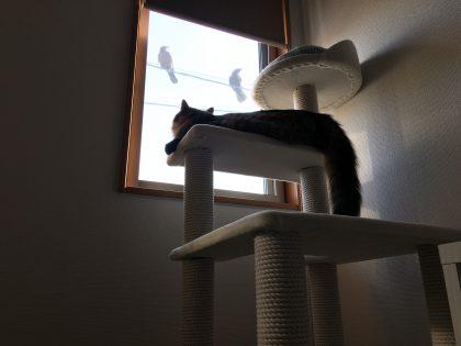 キャットタワーからカラスを見上げる猫