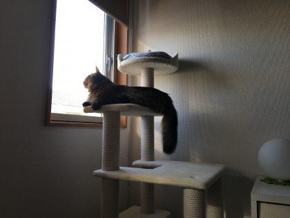 キャットタワーから空を見上げる猫
