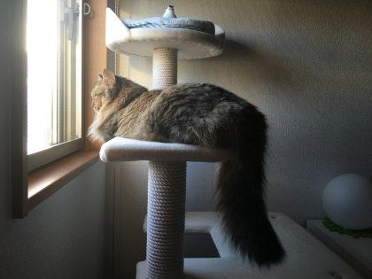 キャットタワーから窓の外を眺める猫