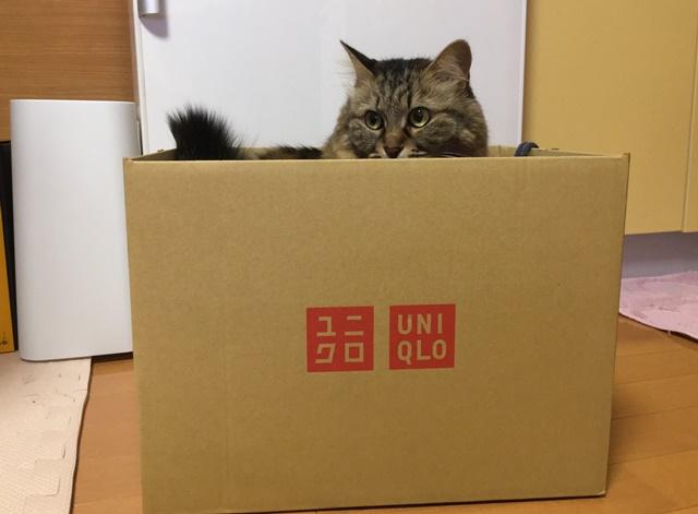 ユニクロの空き箱に入る猫