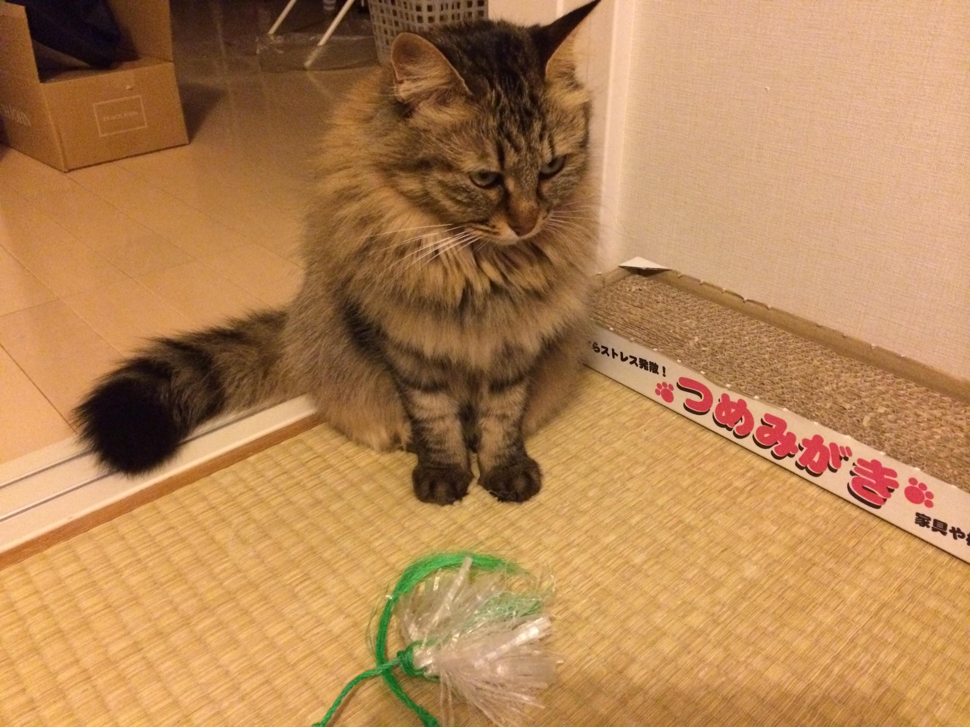 手作りおもちゃで気を引くが、遊んでくれない猫