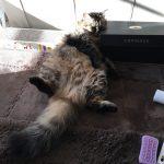 猫のブラッシングを始める準備
