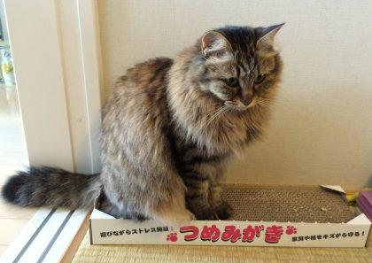 つめとぎの上に座る猫