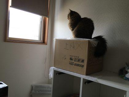 上積み禁止の段ボール箱に座る猫