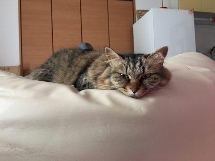 ソファで不貞腐れている猫