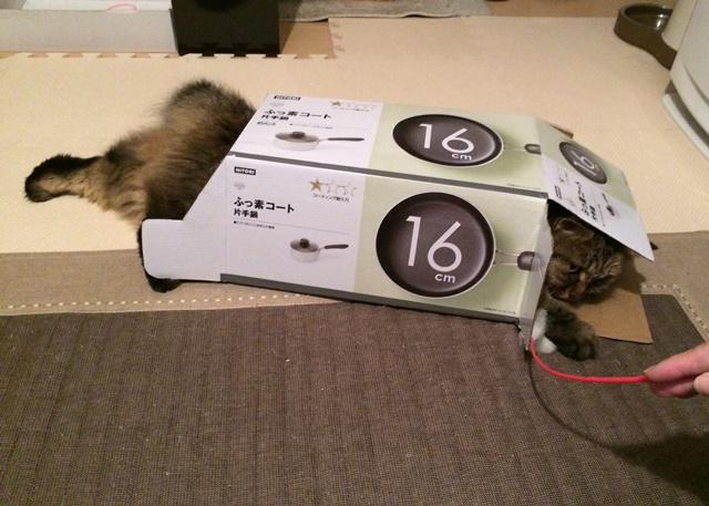 段ボール箱で遊ぶ猫