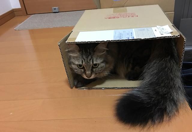 段ボール箱のなかで考えことをする猫