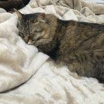 毛布で寝落ちする猫