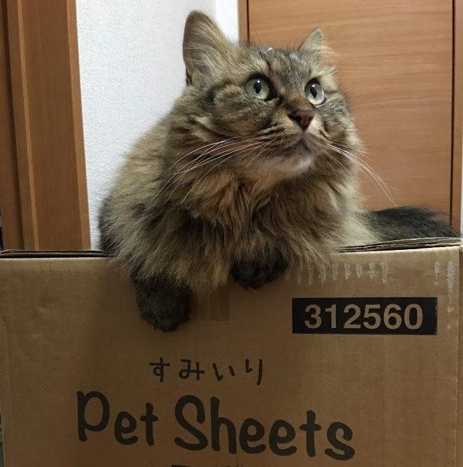 届いた荷物の上に乗る猫