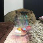 ねこじゃらしを見つめる猫