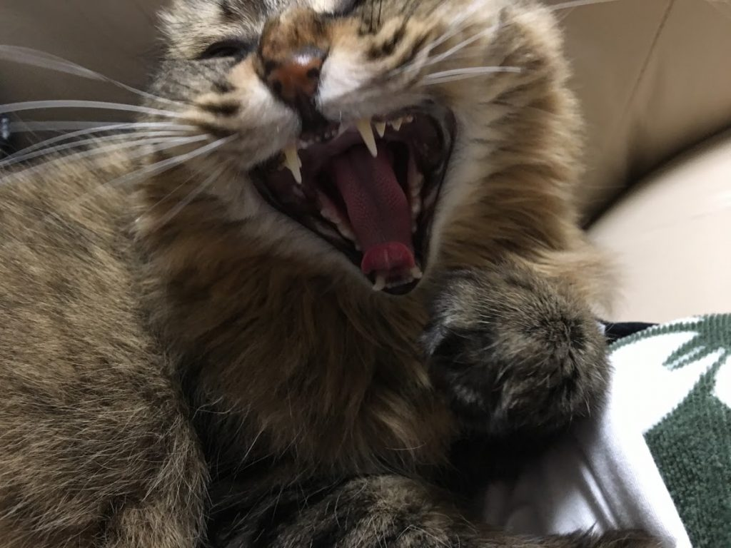 あくびする猫