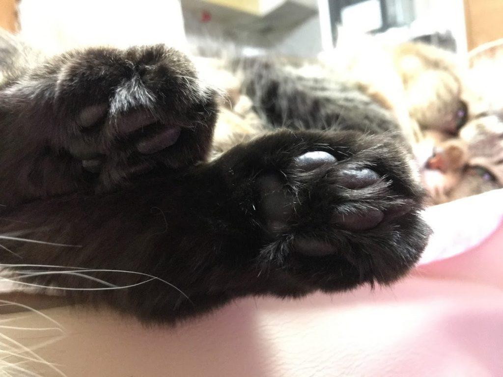 猫の脚の裏