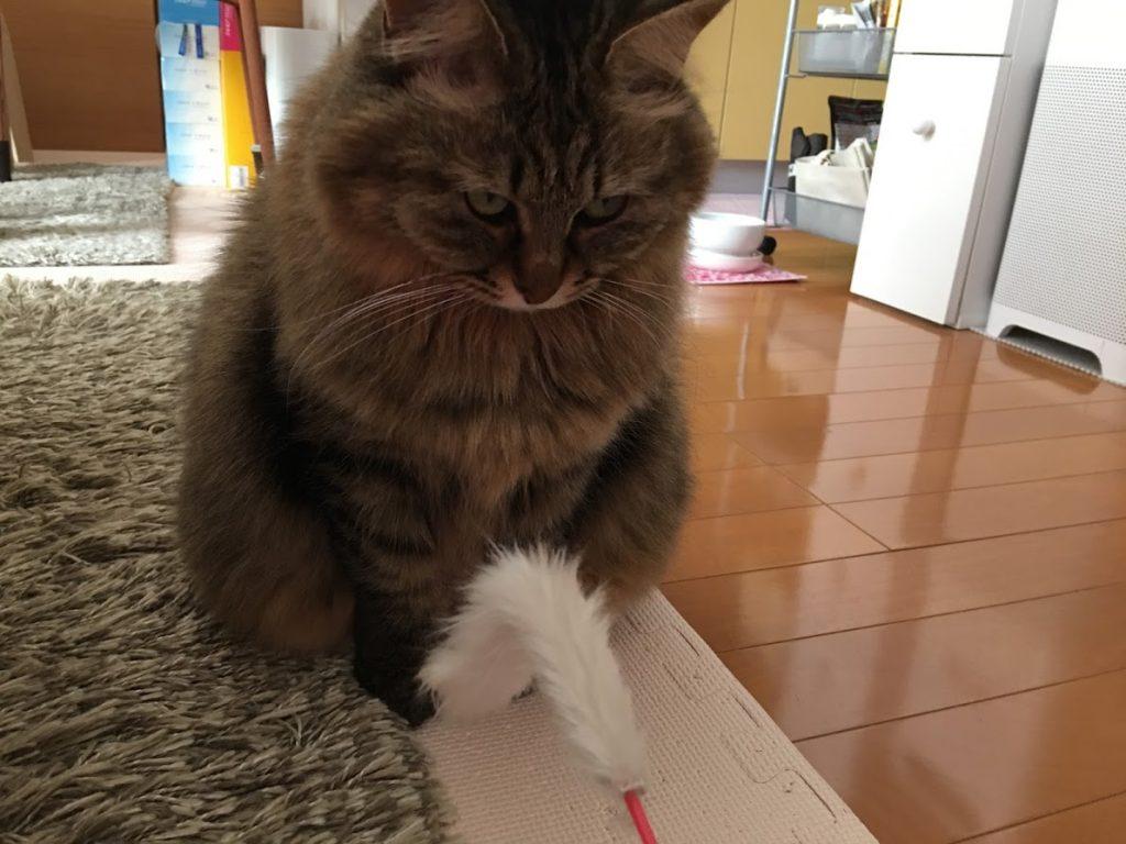 遊ぶ気にならない猫