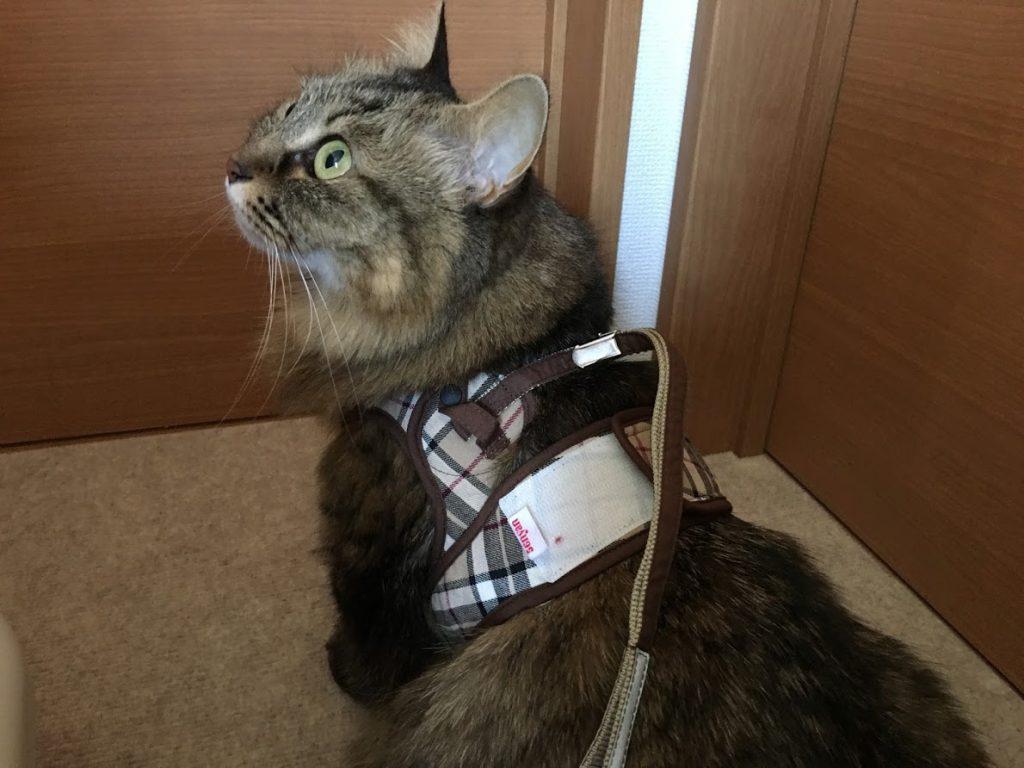 リードを付けられた猫