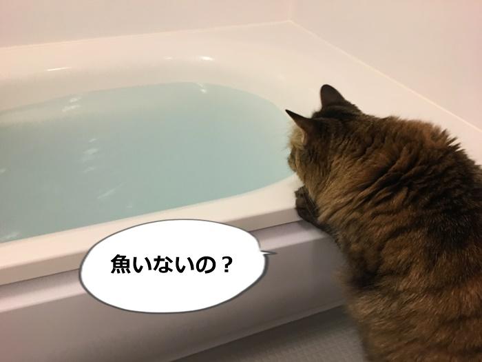 バスタブのお湯を覗く猫