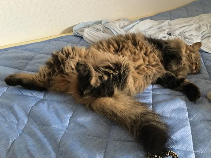 仰向けで眠る猫