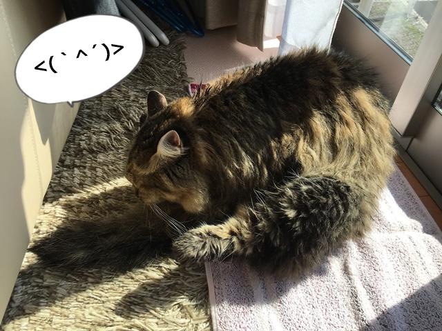 シャンプー後グルーミングする猫