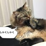 足の手入れをする猫