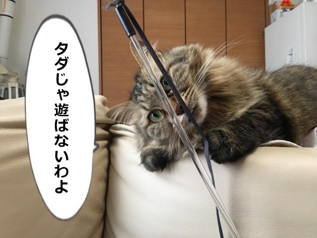 ねこじゃらしに反応する猫