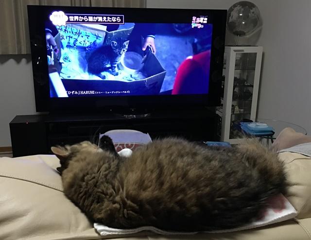 ソファで横になってテレビを見る猫