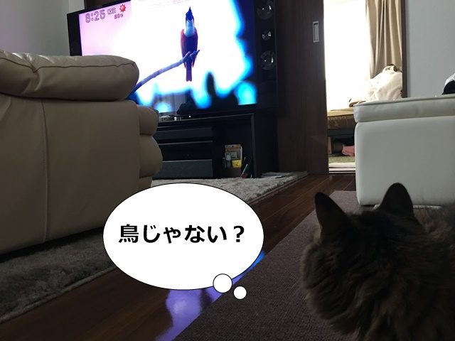 TVにうつった鳥に気付く猫