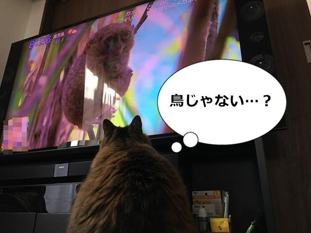 TVに写ったサルを見る猫