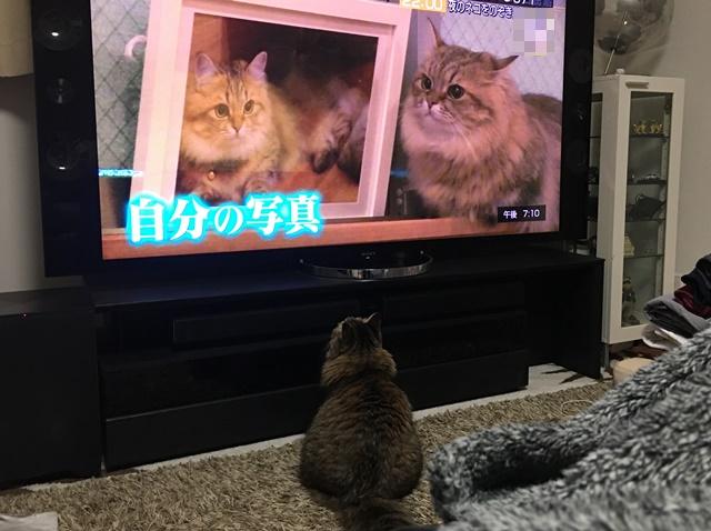 猫が映っているテレビを見る猫