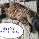 仰向けに寝転ぶ猫