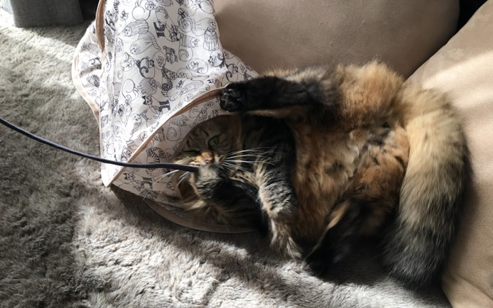 ねこのきもちの付録のキャットテントで遊ぶ猫