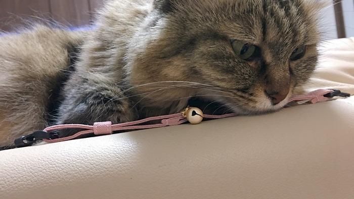 猫首輪に慣れてもらう